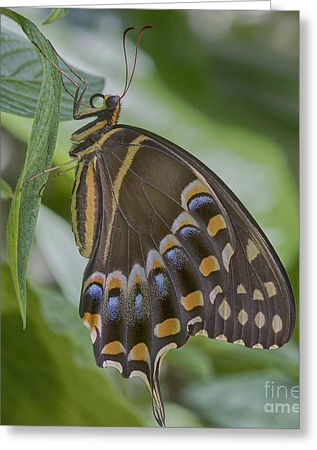Square Format Greeting Cards - Swallowtail Greeting Card by Anne Rodkin