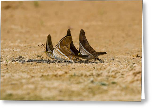 Invertebrates Photographs Greeting Cards - Swallowtail Butterflies In A Field Greeting Card by Panoramic Images