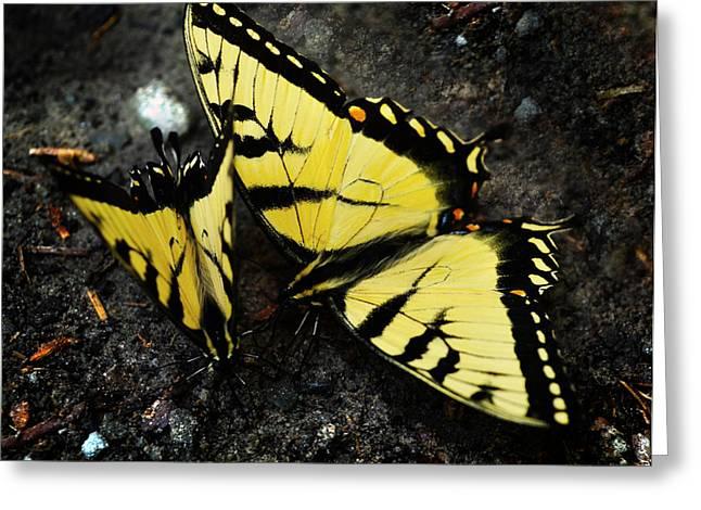 Vlinder Greeting Cards - Swallowtail Butterflies Greeting Card by Lj Lambert