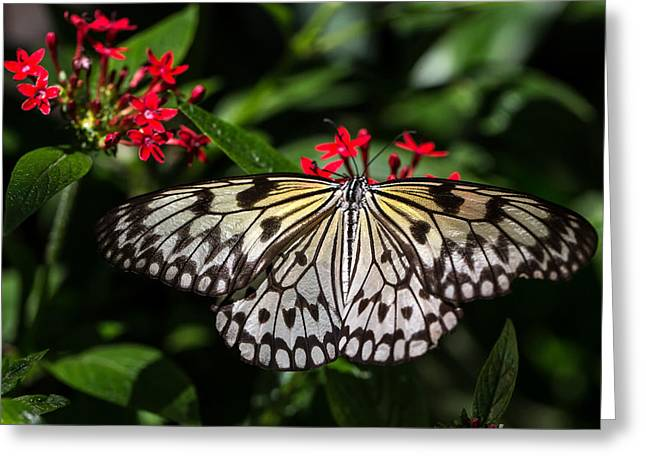 Papilio Thoas Greeting Cards - Swallowtail butterfly Greeting Card by Henry Inhofer