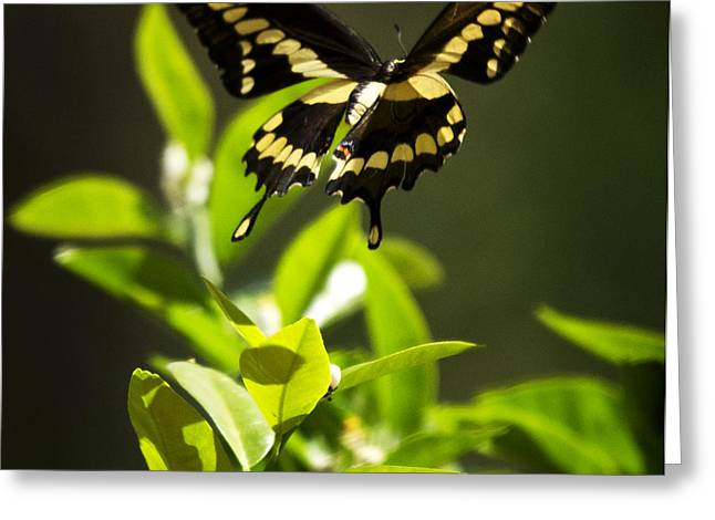 Papilio Thoas Greeting Cards - Swallowtail Butterfly in Flight  Greeting Card by Saija  Lehtonen