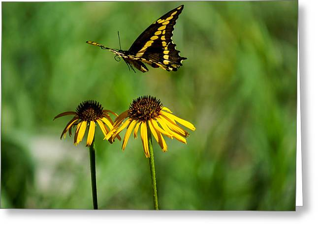 Butterfly In Motion Greeting Cards - Swallowtail Butterfly Greeting Card by Janet Strief