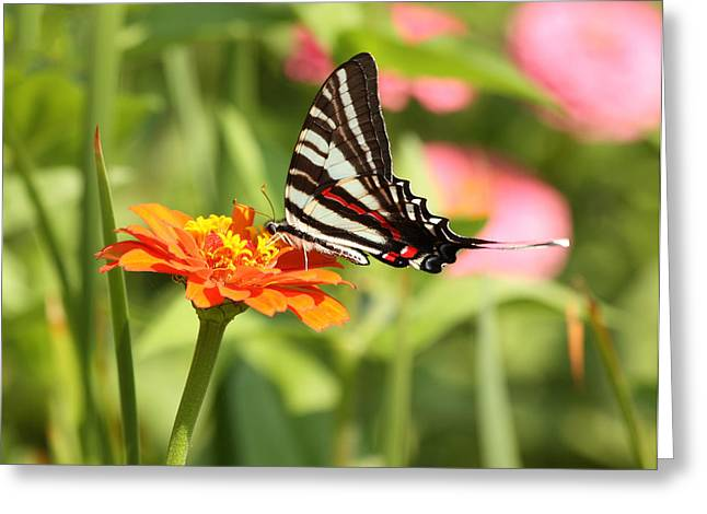 Charming Cottage Greeting Cards - Swallowtail Butterfly Greeting Card by Kim Hojnacki