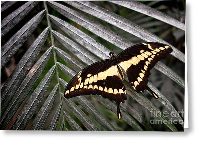 Papilio Thoas Greeting Cards - Swallowtail Butterfly Greeting Card by Olivier Le Queinec