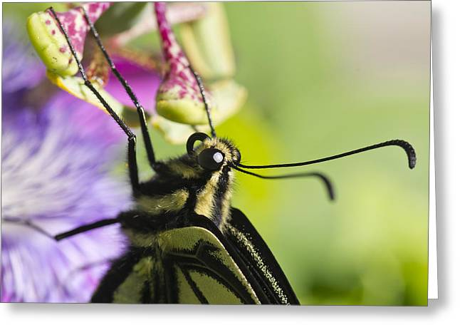 Passionflower Greeting Cards - Swallowtail Butterfly Greeting Card by Priya Ghose