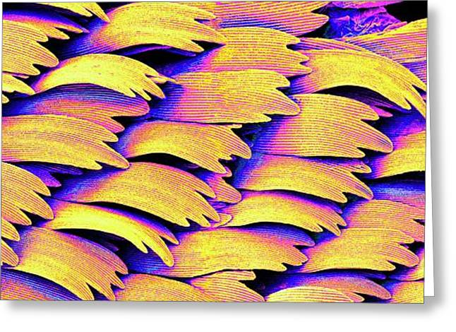 Swallowtail Butterfly Wing Scales Greeting Card by Susumu Nishinaga