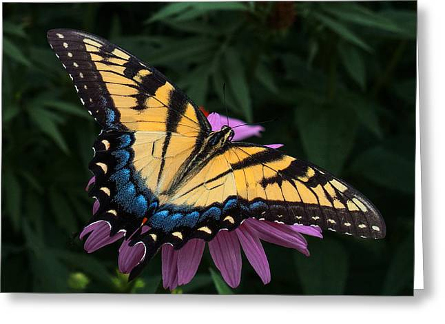 Yellow Butterfly Greeting Cards - Swallowtail  Greeting Card by Don Spenner
