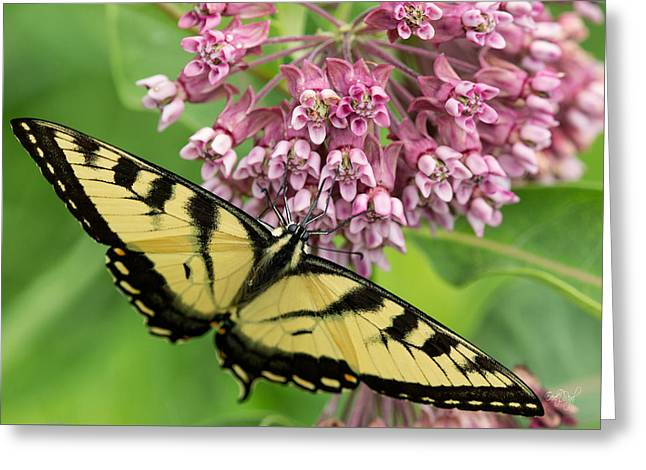 Swallowtail Greeting Cards - Swallowtail notecard Greeting Card by Everet Regal