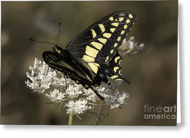 Tim Moore Greeting Cards - Swallowtail on Queen Annes Lace Greeting Card by Tim Moore