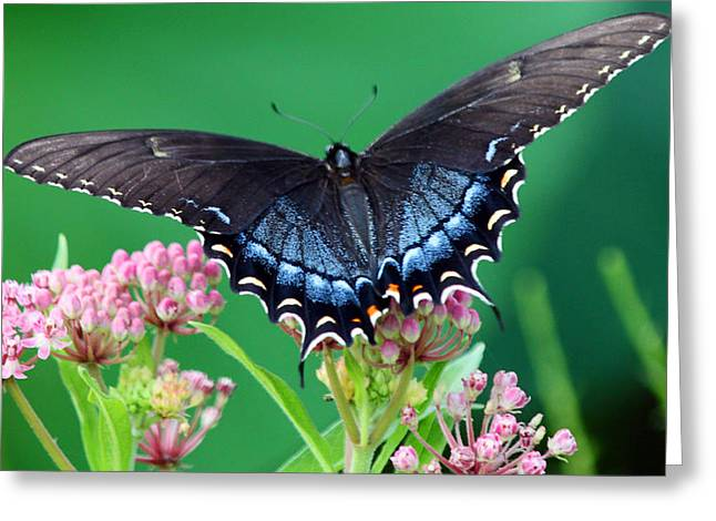 Carolyn Stagger Cokley Greeting Cards - Swallowtail9202 Greeting Card by Carolyn Stagger Cokley