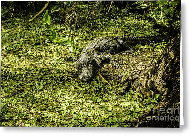 Coldblooded Greeting Cards - Swamp Alligator Greeting Card by Mary Carol Story