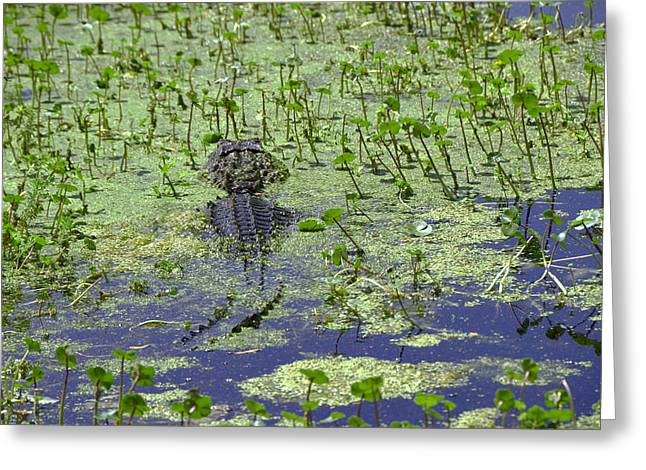 Large Scale Greeting Cards - Swamp Gator Greeting Card by Allen Beatty