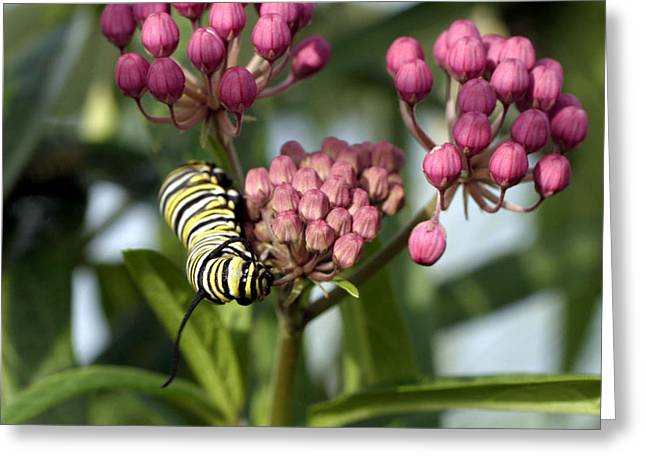 Swamp Milkweed Greeting Cards - Swamp Milkweed and Monarch Butterfly Caterpiller  Greeting Card by Gene Walls