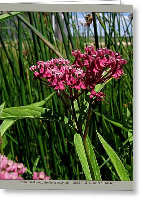 Swamp Milkweed Greeting Cards - swamp milkweed - Asclepias incarnata - 10JL12 Greeting Card by Robert G Mears