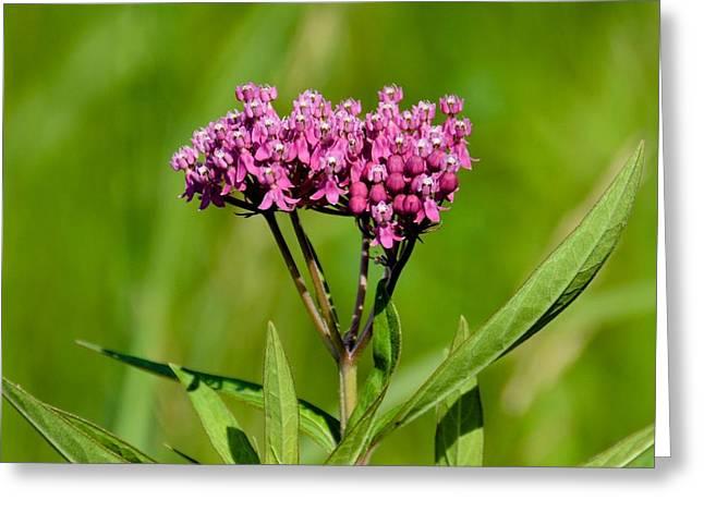 Swamp Milkweed Greeting Cards - Swamp Milkweed Greeting Card by Bear Paw Resort Photography