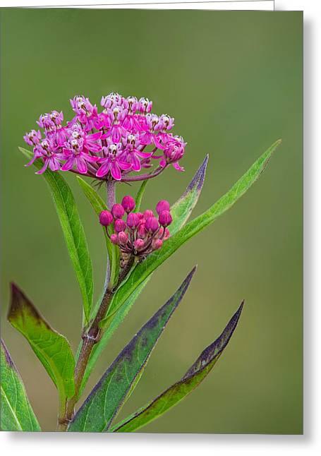 Swamp Milkweed Greeting Cards - Swamp Milkweed Greeting Card by Jim Zablotny