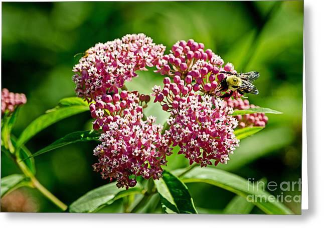 Swamp Milkweed Greeting Cards - Swamp Milkweed Greeting Card by Paul Mashburn