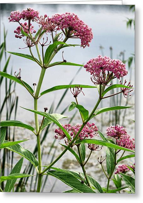 Swamp Milkweed Greeting Cards - Swamp Milkweed - Wildflower Greeting Card by Patricia Januszkiewicz