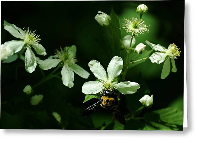 Dappled Light Greeting Cards - Swamp Rose with Carpenter Bee Greeting Card by Rebecca Sherman