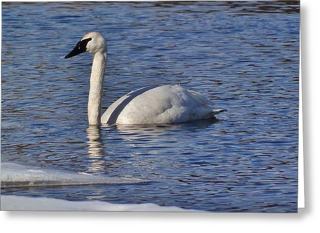 Peaceful Scene Greeting Cards - Swan 5 Greeting Card by Todd and candice Dailey