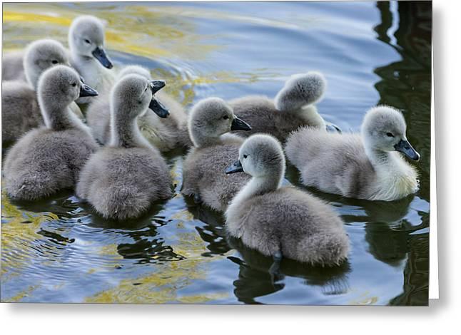 Ducklings Greeting Cards - Swan babies Greeting Card by Michael Mogensen