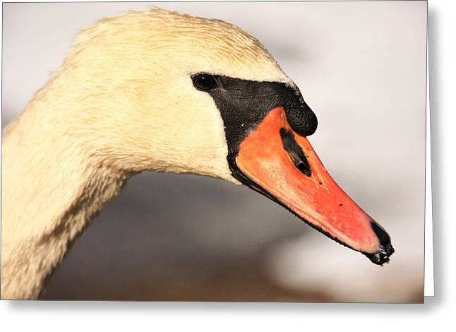 Orange Beak Greeting Cards - Swan Close Up Greeting Card by Karol  Livote