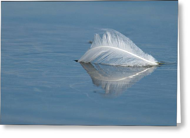 Flying Mute Swan Greeting Cards - Swan Down Greeting Card by Ward McGinnis