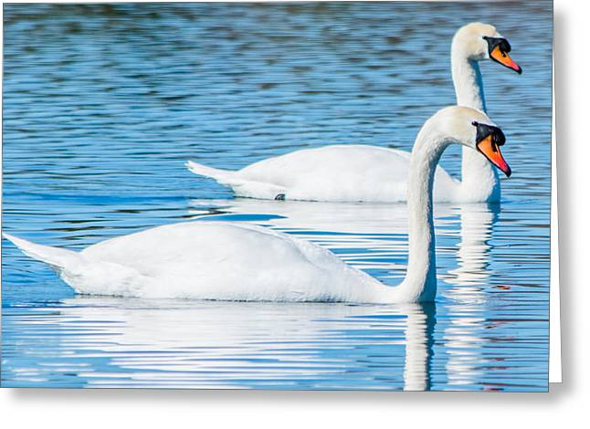 Reflection On Calm Pond Greeting Cards - Swan Dreams Greeting Card by Parker Cunningham