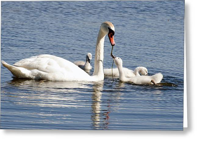 Cheryl Cencich Greeting Cards - Swan Family Greeting Card by Cheryl Cencich