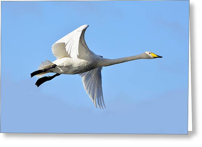 Trumpeter Silhouette Greeting Cards - Swan flying high Greeting Card by Toppart Sweden