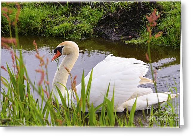 Cellphone Greeting Cards - Swan in water in Autumn Greeting Card by Ed Churchill