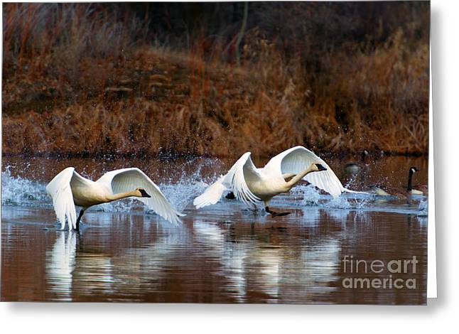 Swans... Photographs Greeting Cards - Swan Lake Greeting Card by Mike  Dawson