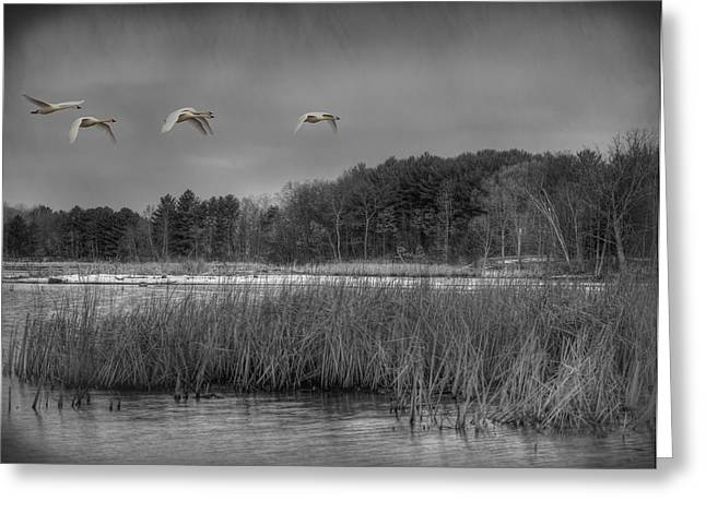 Flying Swan Greeting Cards - Swan Migration Greeting Card by Thomas Young