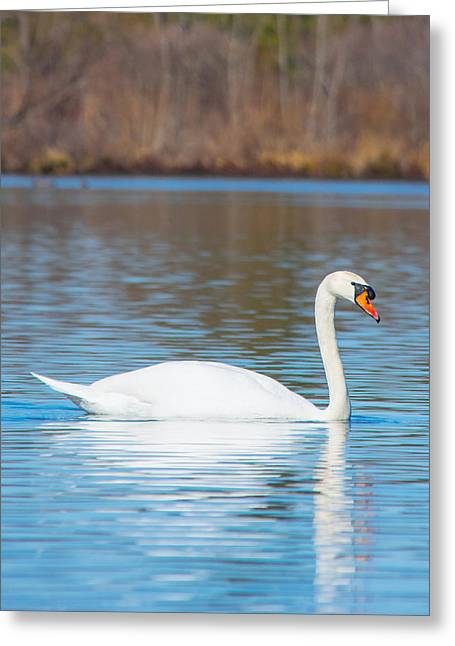 White Swan Greeting Cards - Swan on a Lake Greeting Card by Parker Cunningham