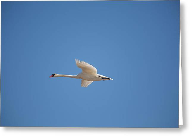 Flying Mute Swan Greeting Cards - Swan on the wing Greeting Card by Allan Morrison