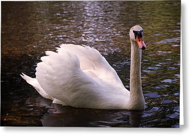 Black Swans Greeting Cards - Swan Pose Greeting Card by Rona Black