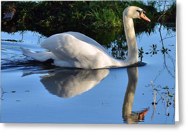 Swan Reflection Greeting Card by Barry Goble