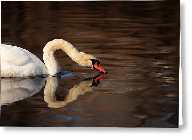 Reflecting Water Greeting Cards - Swan Reflects Greeting Card by Karol  Livote