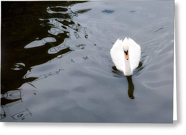 Swans... Photographs Greeting Cards - Swan Song Greeting Card by Rebecca Cozart