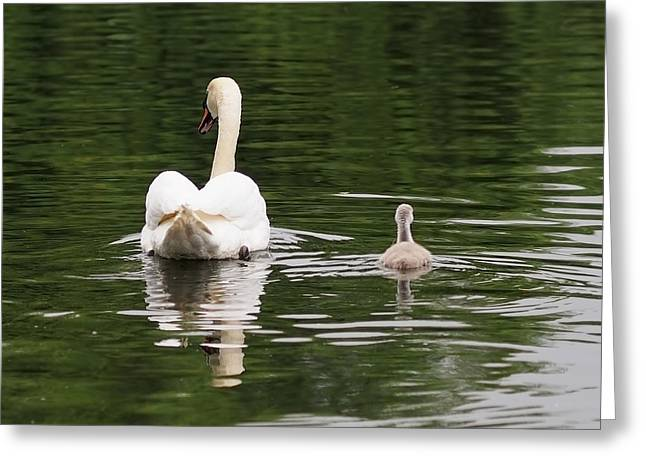 Black Swan Greeting Cards - Swan Song Greeting Card by Rona Black