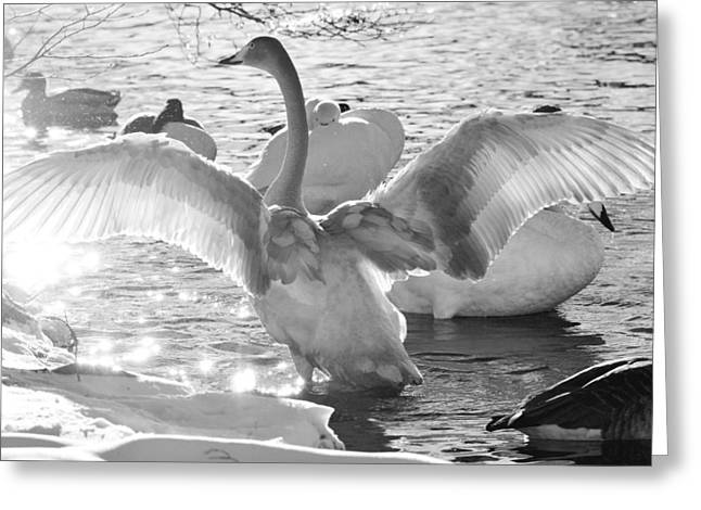 Wing Mirror Greeting Cards - Swan spreads its wings Greeting Card by Toppart Sweden
