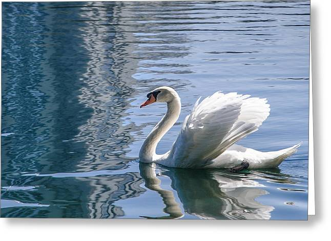 Swans... Greeting Cards - Swan Greeting Card by Steven Sparks