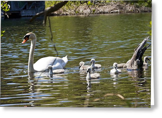 Swans... Greeting Cards - Swan with Signets 3 Greeting Card by Dennis Coates
