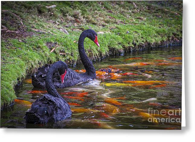Swans... Greeting Cards - Swans And Koi Fish Greeting Card by Mitch Shindelbower