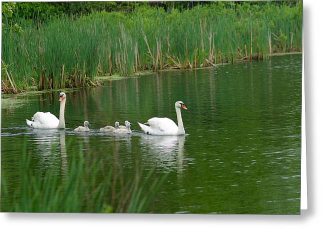 Michelle Greeting Cards - Swans and Signets Greeting Card by Michelle Wiarda