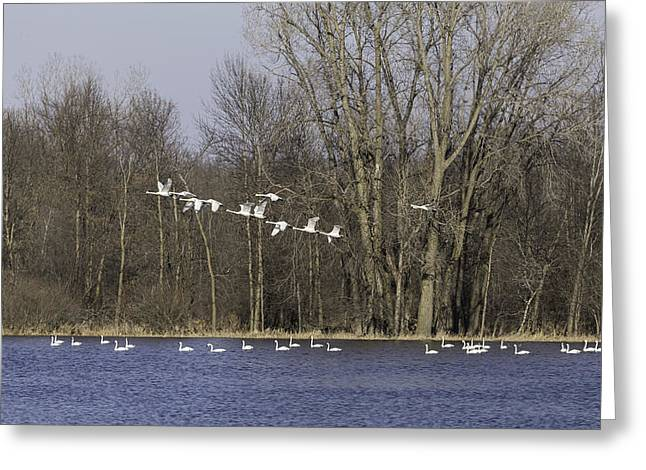 Flying Swan Greeting Cards - Swans Continue Their Long Journey Greeting Card by Thomas Young