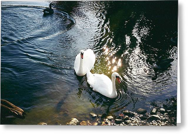 Cynthia Hilliard Greeting Cards - Swans Greeting Card by Cynthia Hilliard