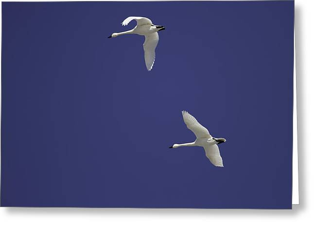 Flying Swan Greeting Cards - Swans Flying In Blue Skies Greeting Card by Thomas Young