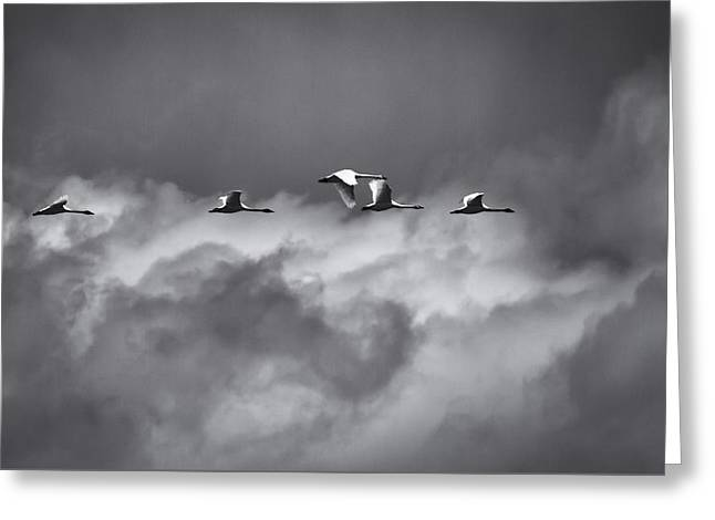 Swans Flying With The Storm Greeting Card by Thomas Young