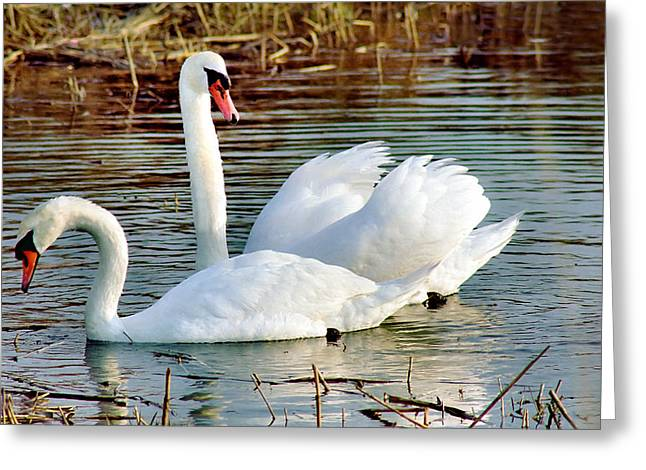 Swans Greeting Card by Gary Heller